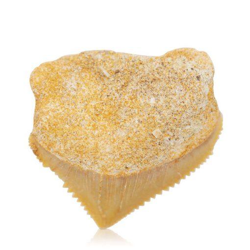 Liten fossil haitann Squalicorax