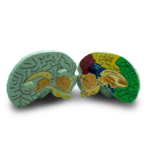 skummodell av hjernen